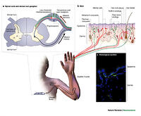 section 49 1 review neurons and nerve impulses